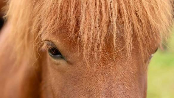 Исландия-Лошадь