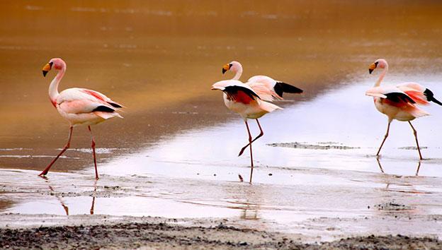 Боливия-фламинго-Джеймс