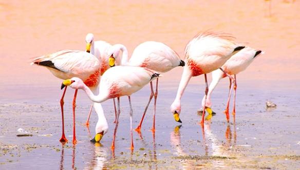 Боливия-Фламинго
