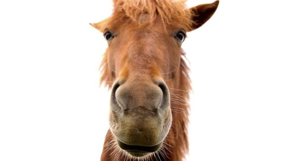 Исландия-лошадь-2